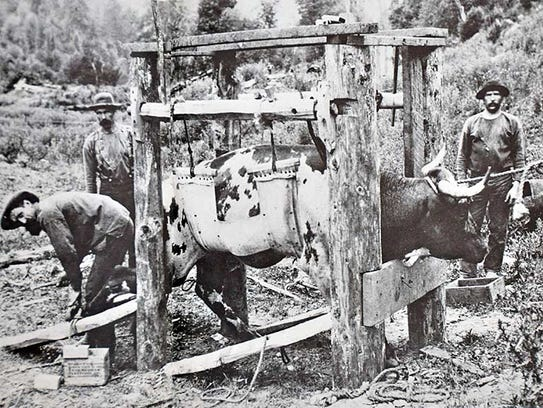 Shoeing an ox in a wooden sling or an ox press.