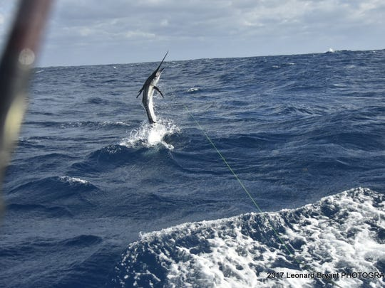Sailfish were thick off the coast of Brevard County last week. Will those sailfish be swimming in waters offshore of the Treasure Coast or Palm beaches next?