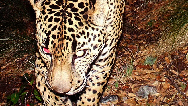 The U.S. Army Corps of Engineers' Los Angeles office has recommended denying Hudbay Minerals a critical water permit for its proposed Rosemont copper mine in southern Arizona. Without a Clean Water Act permit, construction of the mine cannot begin.  And that may be good news for the U.S.'s only known jaguar, El Jefe.