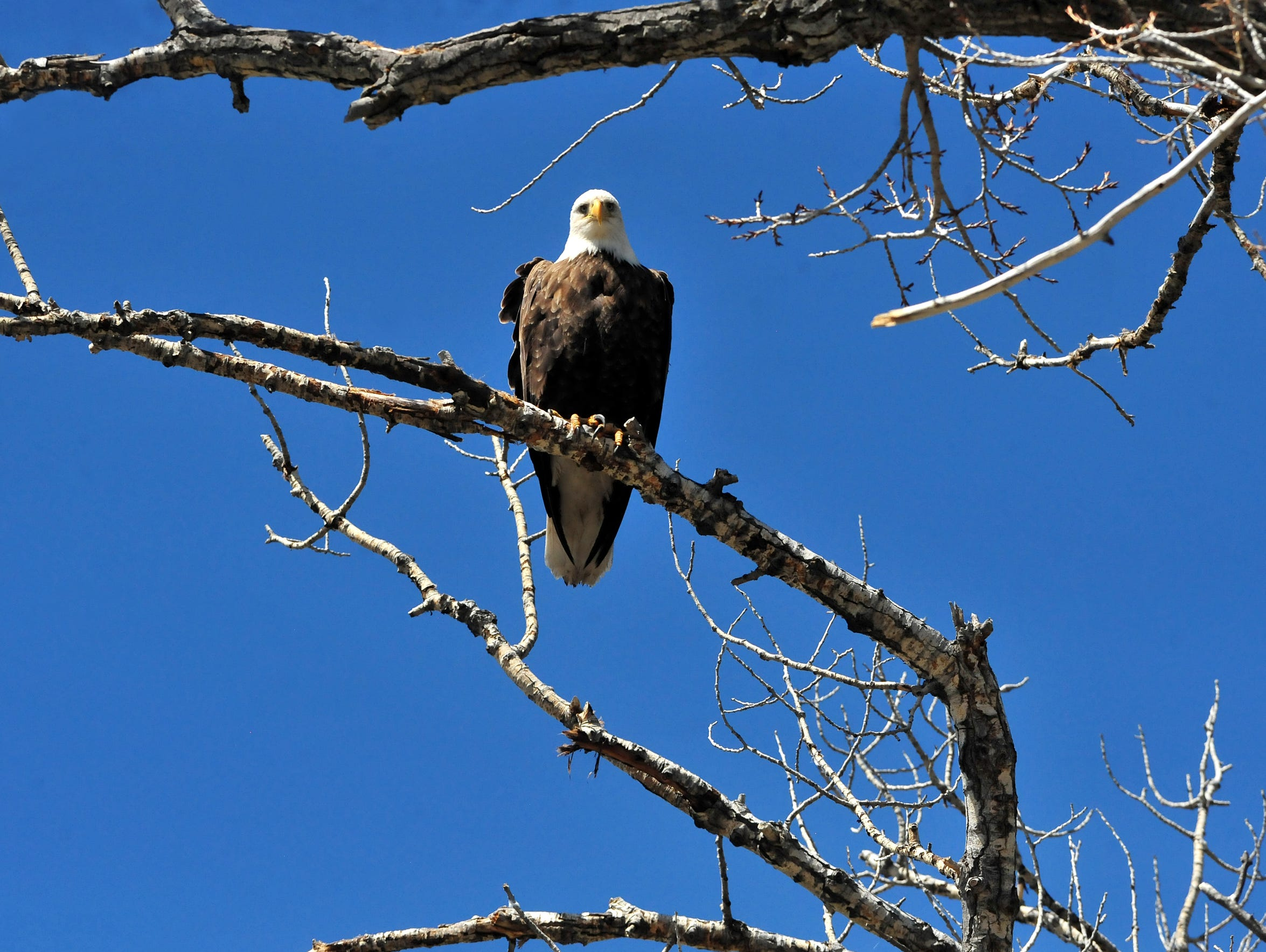 A bald eagle watches floaters go by on the Smith River