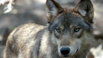 Letter: Bill would endorse wolf poaching; contact legislator to stop proposal