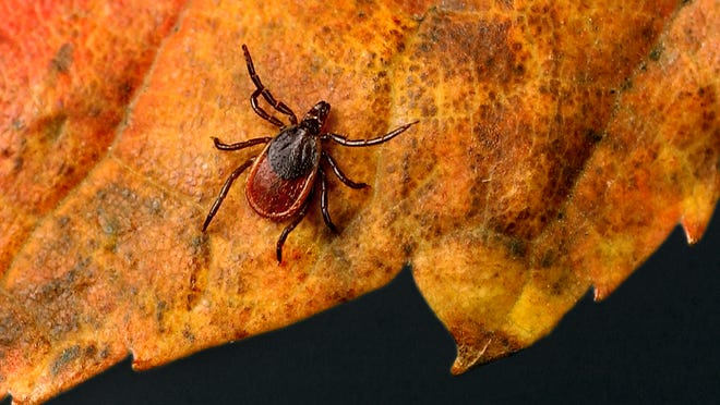 An adult tick, which can cause Lyme disease. The Tick Task Force is holding an education forum Wednesday.