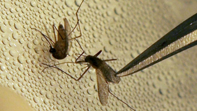 Mosquitoes transfer a number of diseases including the Zika virus.