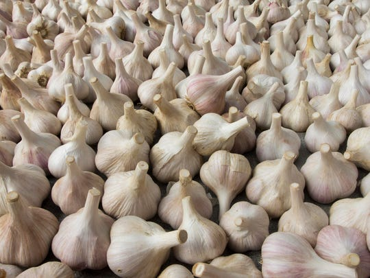 Garlic sits harvested, dried and ready for market at Zack Woods Herb in Hyde Park last week.