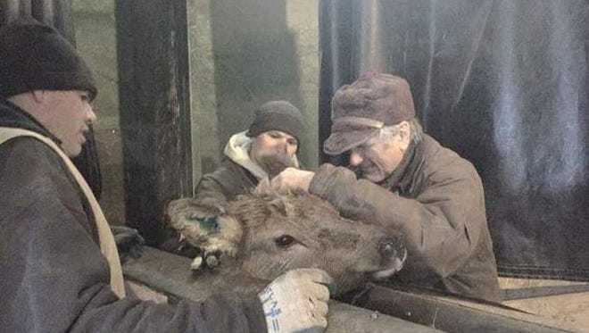 The Bagleys vaccinate an elk at their facility in Driggs, ID. They say the market for elk is up, and elk have also provided an attraction for agricultural tourism.