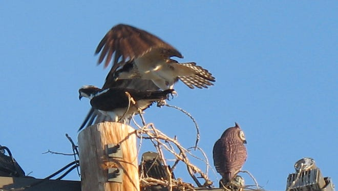 Two osprey built a nest on the top of a light pole at football field at Cascade High School. The bird to the right is a decoy owl.