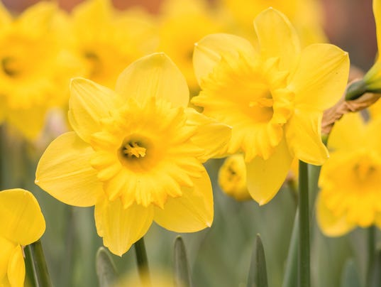 636571765393091162-WIL1Brd-01-08-2018-Daily-1-D003-2018-01-05-IMG-Spring-flowers-serie-1-1-CAKPI582-L1160693495-IMG-Spring-flowers-serie-1-1-CAKPI582.jpg