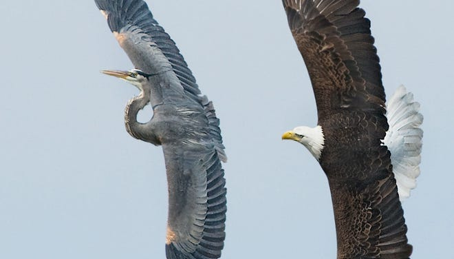An American bald eagle chases a great blue heron away from its nest near Fox Lake, Ill., in 2011.