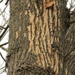 The emerald ash borer emerges in spring from D-shaped holes in the tree.
