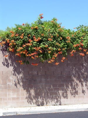 Trumpet vine is considered an invasive species in many parts of the county.