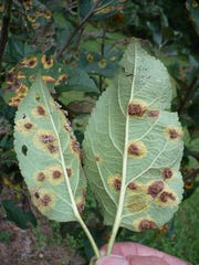 Cedar apple rust is a common fungal disease which impacts junipers, apples and crabapples.