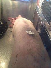Pig in back of the Animal Control van.
