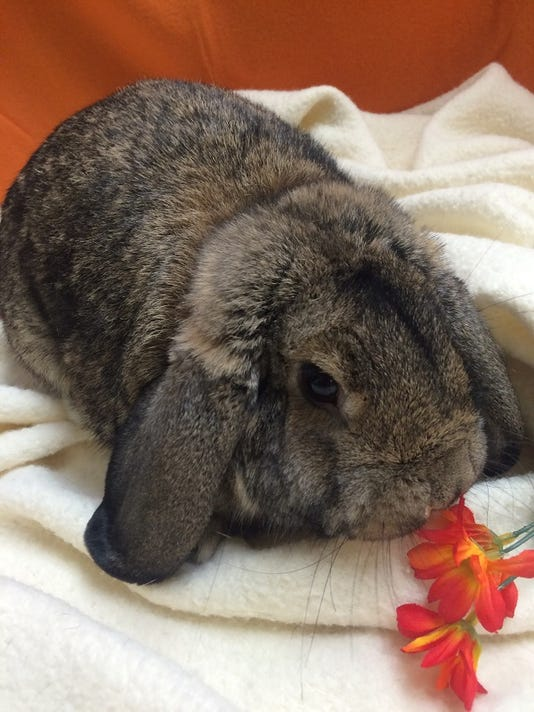 This is one of the rabbits that is up for adoption at the Humane Society of Lebanon County. The Humane Society took in 24 rabbits from the Lancaster SPCA in response to a hoarding situation where the LSPCA rescued over 80 animals on Friday.