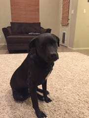 Onyx, a 1 1/2-year-old Labrador retriever owned by