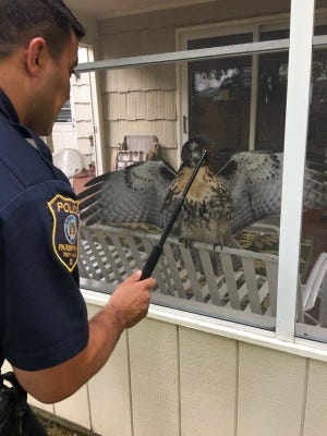 Parsippany Police Officer Matthew McAuliffe uses his police wand to distract a red-tailed hawk caught inside a sunroom at a home on Wood Glen Way while an animal control officer positions to capture it.