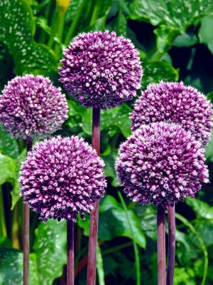 Summer Drummer Allium can get 5 feet tall with blooms 4 inches wide.
