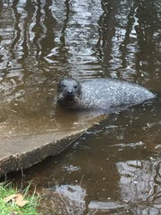 Phil, an adult male harbor seal, rests near the Coursey Pond spillway.