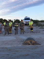 A 300-pound turtle was relocated to the beach after it was found crossing State Road A1A Friday morning.