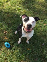 Patch is a happy, 6-year-old pit bull mix with a lot