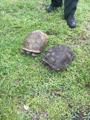 The two gopher tortoises that the 28-year-old man was accused of trying to take home with him and eat.