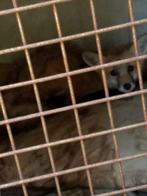 While searching Jose Angel Gandarilla, 38, home in Earlimart, Tulare County detectives found an injured fox.