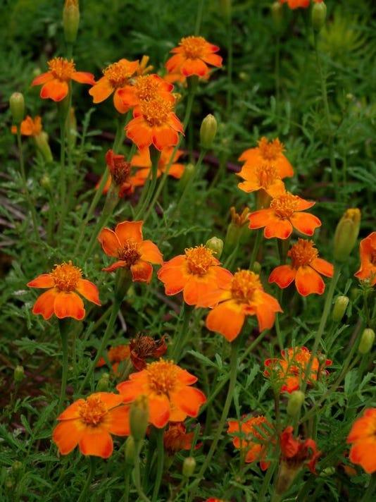 APC f FF family garden companion plants pt 1.JPG