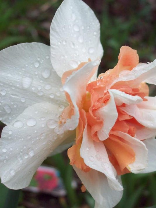 APC 042914 Yard MD BLOG-spring daffodils.JPG