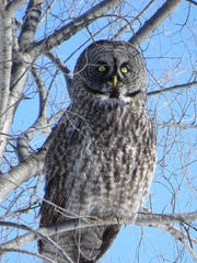 A great gray owl was photographed by Fond du Lac resident