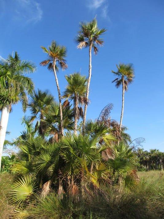 Everglades palm (2).JPG