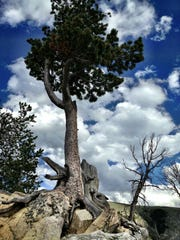 A tree grows along the Beartooth Highway