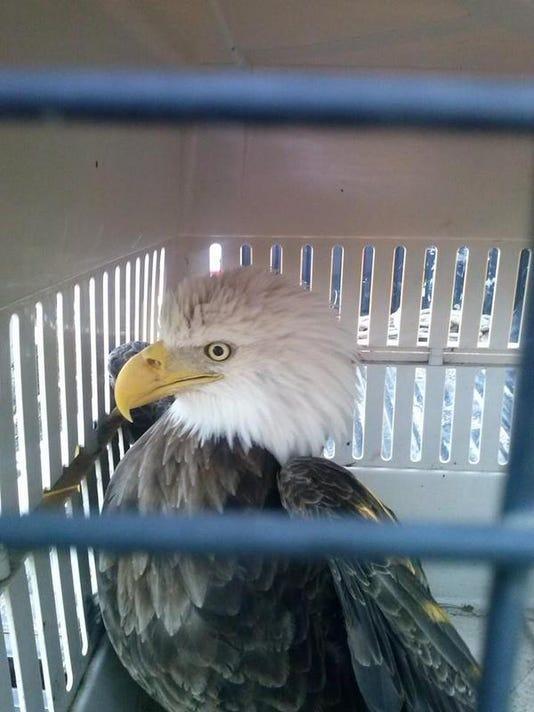 -Bald eagle in Sabine.jpg_20131113.jpg