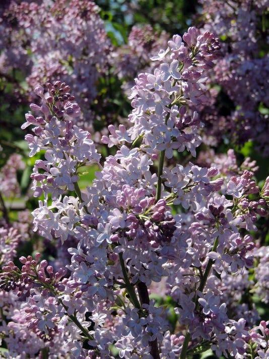 -APC yard md lilacs LEAD.JPG_20140306.jpg