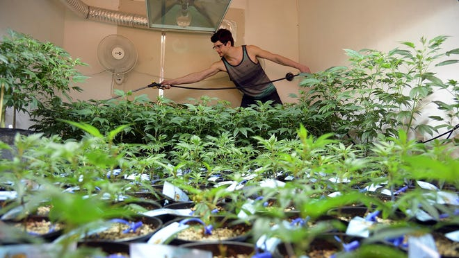 Master grower Evan Schick waters his plants at a Colorado warehouse for legal marijuana March 3, 2014.