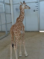 A baby giraffe was born at the Living Desert Friday.