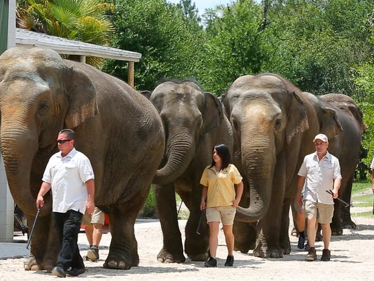 Handlers walk elephants to the table as more than a