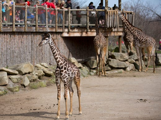 Cincinnati Zoo Has 2 Pregnant Giraffes