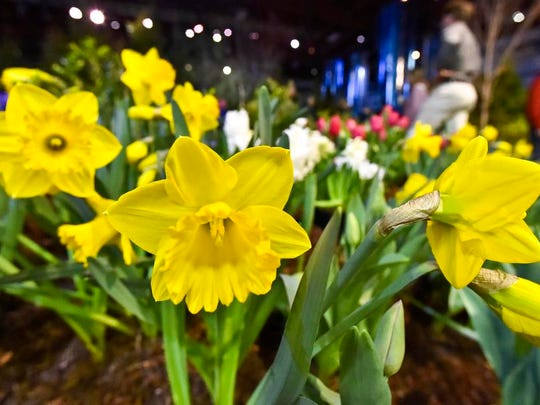 Daffodils are on display at the 2015 Vermont Flower Show at the Champlain Valley Expo in Essex Junction on Friday, the first day of the weekend-long exhibition.