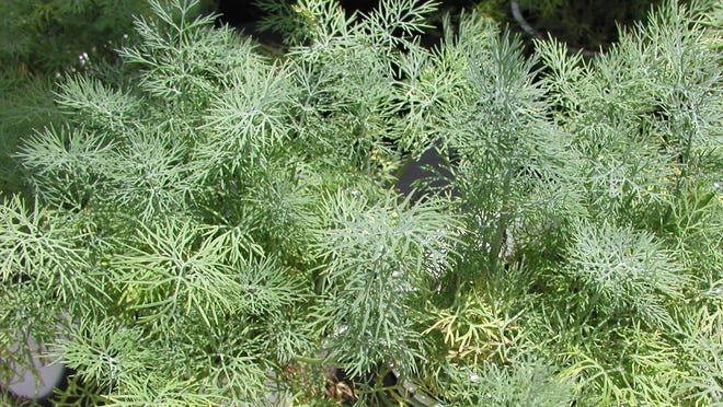 Dill is typically grown for its flavorful, finely cut leaves and seeds that are used for creating dill pickles. The leaves can be used fresh or dried along with the dried seeds in soups, stews, sauces, fish, eggs, pickles, salads and vegetables.