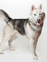 Draco, a 3-year-old male Husky. No. 96433.