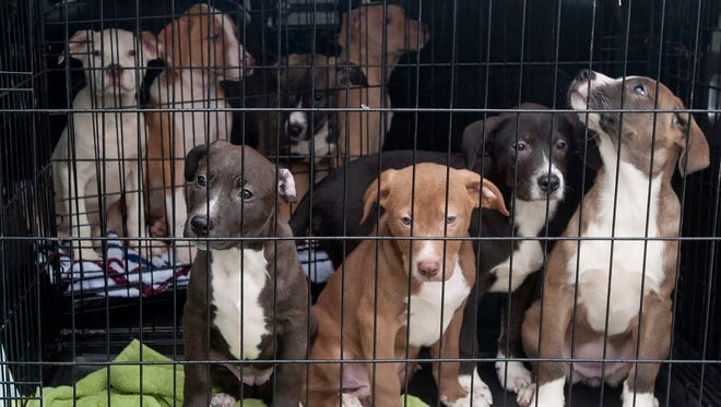 Puppies go from Texas to Connecticut for adoption Dec. 19, 2017.