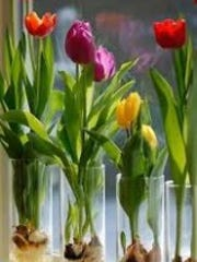 Tulips and paperwhites tend to flop over-put them in a tall glass. Consider using colored marbles or glass in the bottom.