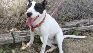 This bull terrier is female and one year old. She was left in outside lock up. She is friendly, very pushy with other dogs, rough playing and needs room to run and play. For more information about adopting a Pet of the Week or other furry friends visit Alamogordo Animal Control, 2910 N. Florida Avenue, Monday through Saturday between noon and 5 p.m. or contact them at 439-4330.