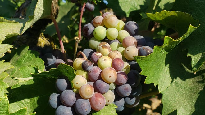 A cluster of Zinfandel in the Lizzy James Vineyard is going through physiological changes and turning color during the stage of veraison.