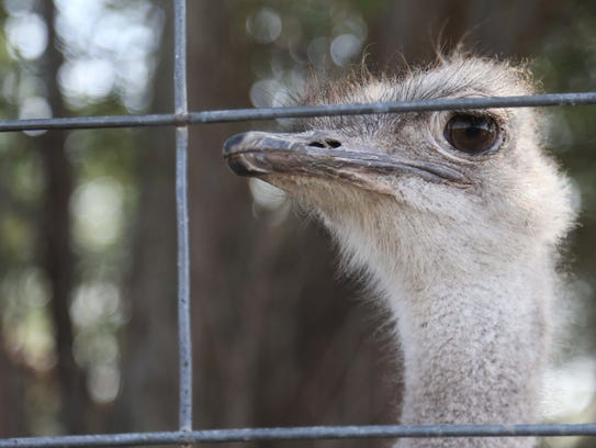 An ostrich peeks through it's cage at the Cricket Hollow