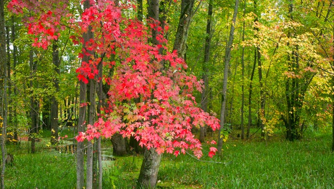 Bright Red Maple Tree in Autumn