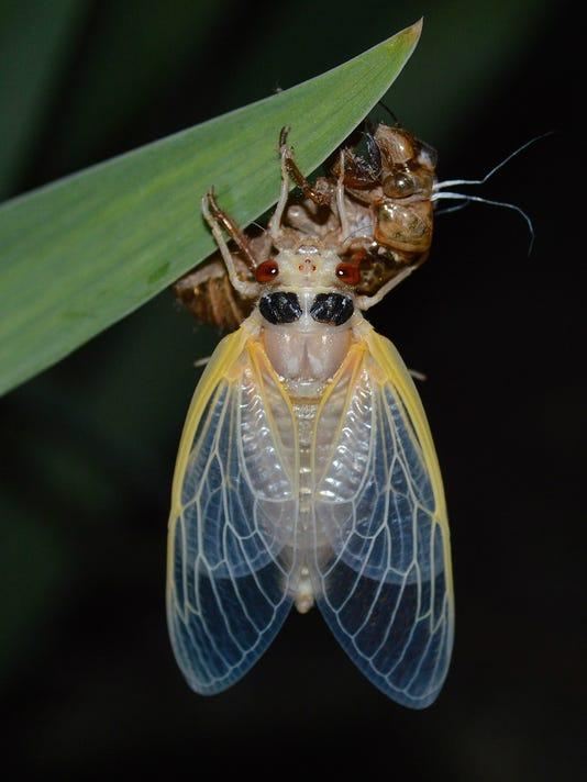 Cicada-Kritsky-Delhi.jpg
