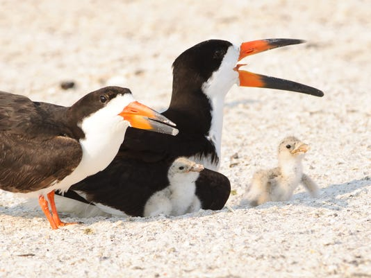 635999512409499348-Black-skimmer-family-with-chicks-JIm-Gray.jpg