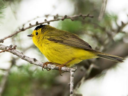 The Yellow Warbler is the most abundant warbler in