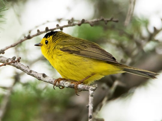 The Yellow Warbler is the most abundant warbler in the US.
