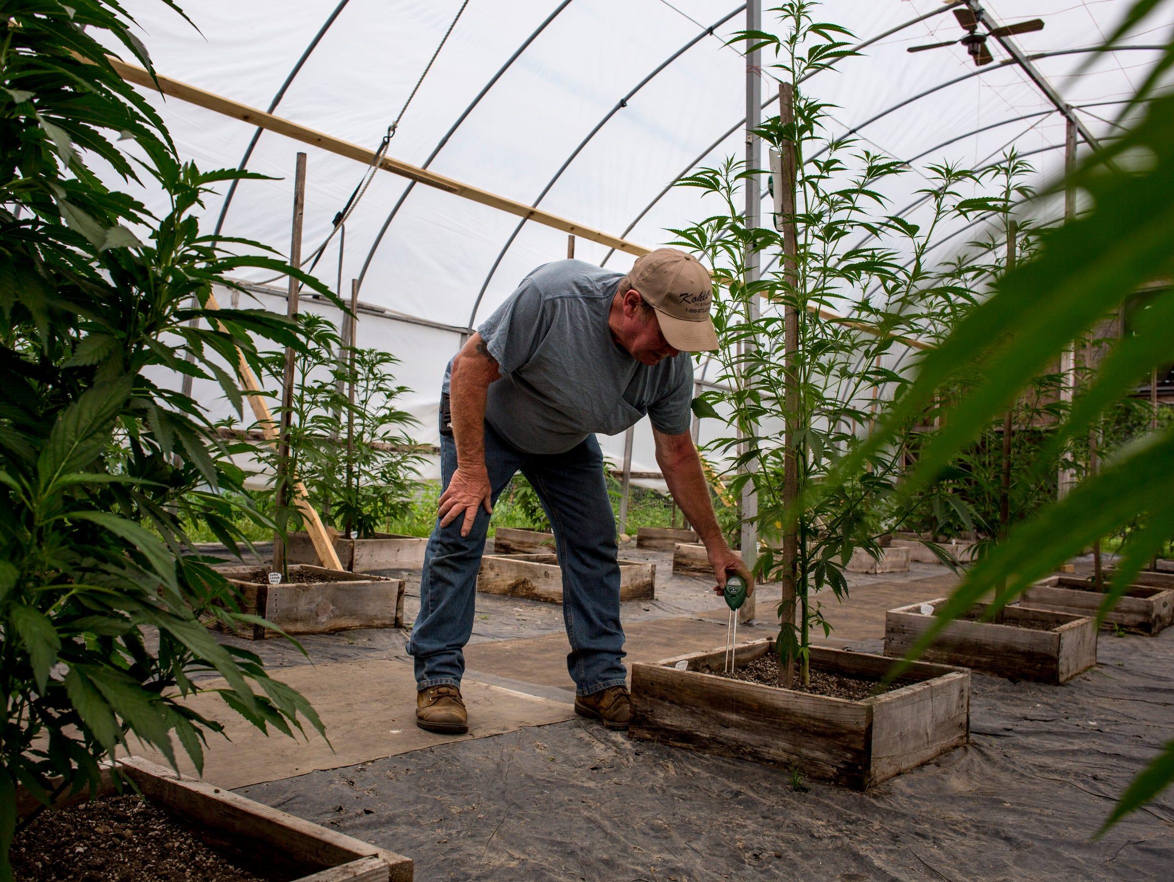 Tom Owens checks the moisture level of a medical marijuana